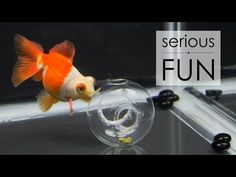 ▶ Goldfish Treat Ball - Food Dispensing Toy! - YouTube. This is great. It'll work for bettas
