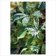Parthenocissus quinquefolia 'Star Showers' | Penkialapis Vynvytis margas * bloom: 6-8; fruits & red leaf in autumn; vvvv, sss