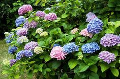 colored hydrangea | How to get milti-colored hydrangea bush. 2 ways you can get ... | ho ...