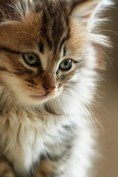 beautiful things http://www.mainecoonguide.com/how-to-tell-if-a-kitten-is-a-maine-coon/