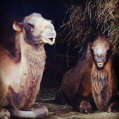 #cabarceno #zoo #camello