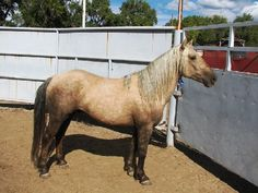This BLM adoptable mustang from Wyoming shows a very different expression of the sooty gene on a palomino than previously seen on Chex Nu Jewel.