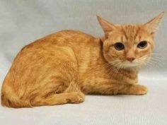 ***TO BE DESTROYED 05/23/17***SUPER SWEET ORANGE BOY NEEDS YOU!!!Meet Caleb: This handsome cat may be shy at first but is actually quite playful. He does not mind being brushed or picked up and put into a carrier. He has lived with one other cat and a child, and never had any problems with  that. Currently, he could really use some TLC. He has a misaligned jaw from an old fracture, and may need a tooth removed because it is pressing on his palate. He also has a heart murmur that wil...