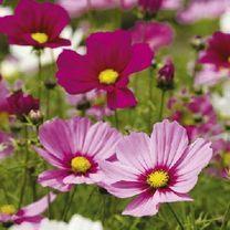 Cosmea Sonata Dwarf Mix Seeds at Suttons Seeds