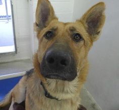 Gorgeous 2-year-old German shepherd dumped in a 'blink' at high kill shelter