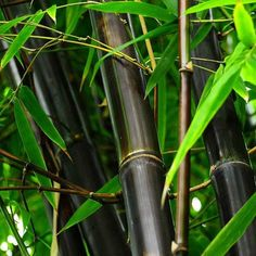 Phyllostachys nigra - Black Bamboo - Bamboos and Bamboo Plants - Garden Plants Buy Bamboo Plants, Black Bamboo Plant, Bamboo Tree, Phyllostachys Nigra, Landscaping Supplies, Landscaping Plants, Garden Supplies, Bamboo Landscape, Landscape Design