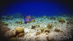 A queen triggerfish passing by...  #scuba #scubadiving #relaxedguideddives #padi #travel #explore #discover #curacao #fun #duiken #tauchen #diving #tripadvisor #cressi #oceanreef