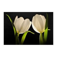 Beautiful White Tulips on black Background Acrylic Print - photography gifts diy custom unique special