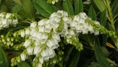 Southern Lady® Pieris