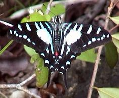 The Cuban Kite Swallowtail (Protographium celadon) is a butterfly of the family Papilionidae. It is endemic to Cuba. Occasional strays can be found on the Florida Keys