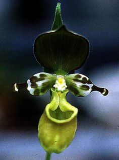 Cypripedium yatabeanum- These always remind me of those two aliens from Sesame Street.  #Orchids