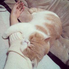 #exoticshorthair #cat