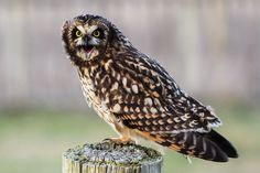 I love owls. short-eared owl