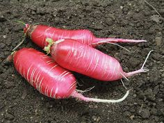 One of the oldest types of radish; very hardy; a fall/winter type. Roots are about 5 inches long, and a rose color.