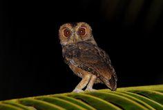 Mentawai Scops Owl (Otus mentawi). Photo by Bram Demeulemeester.