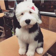 Meet Violet, a Cute Old English Sheepdog Puppy Cute Puppies, Cute Dogs, Dogs And Puppies, Doggies, Sheep Dog Puppy, Sheep Dogs, Sheepadoodle Puppy, Goldendoodles, Old English Sheepdog Puppy