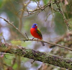 https://flic.kr/p/tcvKJ5 | Painted Bunting (male) | This is not a great image but I wanted to post it with the shot of the female for comparison. I have been trying for several years now to get a nice crisp shot of the male but to no avail. Will keep working at it.