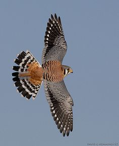 This entire series is of one immature male American Kestrel. It was close to home and not afraid of me at all.