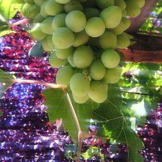 ya mismo tiempo de #vendimia por La Mancha. Nuestras uvas van madurando a buen ritmo!