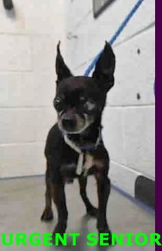 BARRY (A1669934) I am a male black and white Chihuahua - Smooth Coated. The shelter staff think I am about 9 years old. I was found as a stray and I may be available for adoption on 01/06/2015. Miami Dade https://www.facebook.com/urgentdogsofmiami/photos/pb.191859757515102.-2207520000.1420055502./899849423382795/?type=3&theater