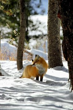 Red Fox by Susan Cramer Stein - National Geographic Your Shot