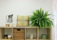 air purifying boston fern plant