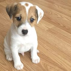 """Jack Russell Daily on Instagram: """"📸: @#losangelesjackrussell# . . . #jackrussellterrorist #jackrussellfan #jrtlove #jackrussellsofig #jackrussellmoments #jackrussellworld…"""" Baby Puppies, Cute Puppies, Cute Dogs, Dogs And Puppies, Maltese Puppies, Doggies, Jack Russell Puppies, Jack Russell Mix, Parson Russell Terrier"""