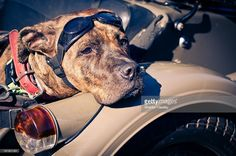 A female Amstaff waiting patiently for her owner, she is dressed in her bike goggles and is sitting in a classic BMX bikes, sidecar.