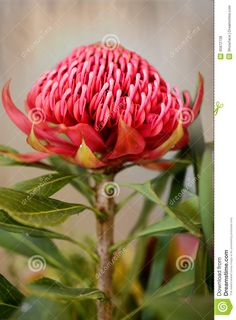 waratah - Google 검색 Fruit Flowers, Seasonal Flowers, Wild Flowers, Australian Wildflowers, Australian Native Flowers, Waratah Flower, Wedding Mood Board, Cake Icing, Botanical Art