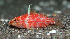 Red Blotched Perchlet (Plectranthias Inermis) - Marine Habitat Magazine