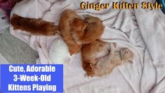 Cute, Adorable & Irresistible 3 Week Old Kittens Playing and Wrestling
