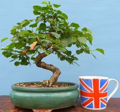 St Lucie Cherry Flowering Bonsai Tree @KaizenBonsai