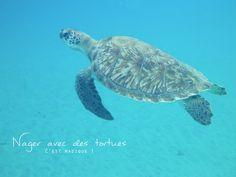 Martinique - nager avec des tortues