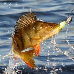 Follow 👉@person.young👈 #рыбалка #увлечение #отдых #спиннинг #поклевка #подсечка #улов #адреналин #радость #настроение #друзья #fish #fishing #spinning #jigs #bite #sweeps #catch #friends #vacation #joy #釣り#pskov #брест #руба #гомель #орша #новгород #коми  http://fishtimes.ru