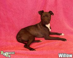 Pretty girl WILLOW (sweetheart) was found in AKRON, OHIO....NOW ADOPTABLE!!!! Come out and meet her soon!!!! SUMMIT COUNTY ANIMAL CONTROL AKRON, OH. https://www.petfinder.com/petdetail/29499087/