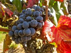 Alicante Bouschet is a red wine variety with red flesh and fruit. as well as a red skin.  It can be used to make red or rose styles of wine, or is often blended to add colour to other varieties