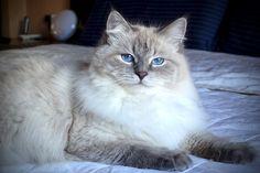 Ciniya Zvezda Severa of Aurora Glow Siberian Cat, Aurora, Glow, Cats, Animals, Gatos, Animales, Animaux, Northern Lights