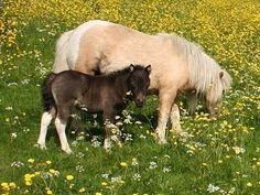 Palomino tobiano mare black, or smokey black, tobiano foal