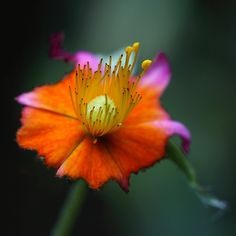 Friday's Fantasy Flower by AnyMotion, via Flickr