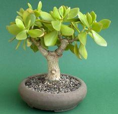 Pěstujte sukulentní bonsaje