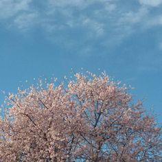L'albero del vicino è sempre più rosa  ed è sempre meraviglia #ognianno #mandorlo #fiori #rosa #albero #alberomagico #cielo #everyyear #almond #flowers #pink #tree #magictree #sky #lavitasegretadellepiante by federicasegalini