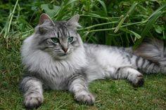 Hallo,  ich würde gerne wissen ob hier welche sind die Sibirische Katzen haben.  Ende Mai kann ich endlich unsere Kleine zu uns holen und würde gern mit welche die auch diese Rasse besitzen mich ausstauschen.  Hier ist sie…