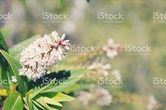 New Zealand Hebe Flower in Pastel Tones royalty-free stock photo Kiwiana, Medicinal Plants, Image Now, New Zealand, Commercial, Royalty Free Stock Photos, Pastel, Flowers, Twitter