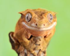 Crested Gecko                                                       …