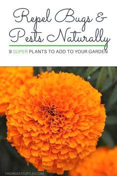 9 Plants That Repel Bugs Naturally #WhiteFlowerFarm #Organic #Natural #BugRepellingPlants #Lavender #Gardening