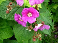 Tietoja kasvista Tuoksuvatukka, Rubus odoratus, rosenhallon. Hyvä suoja- ja taustapensas. Kestävyytensä vuoksi se sopii pihan ongelmakohtiin, kuten isojen puiden alustoille.