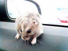 Mi hamster ruso <3 - lovely russian hamster