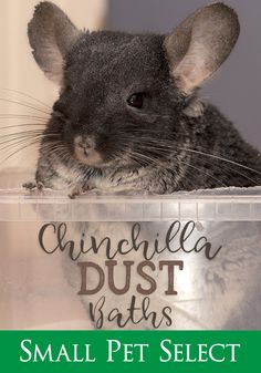 Chinchillas shouldn't be bathed in water. The two don't mix. 🚫Chinchilla baths should be dust only, and all you need to do is provide the supplies.  #smallpetselect #chinchillabaths #dustbaths #chinchilladust #smallpetbaths #chinchillaparent #lovemychin