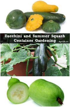 All types of squash grow well in containers, particularly summer squash.  It's a very hardy and versatile plant so if you want to add fresh summer squash to your dinner table, grab a few containers and plant those seeds. You will need to harvest the squash regularly when it begins to grow so that the plants don't get bogged down.