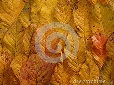 Autumn yellow colored leaves background